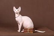 Котята для души, пары Эльф, бамбино, канадский сфинкс для разведения.