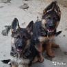 Питомник немецких овчарок предлагает щенков в Краснодаре
